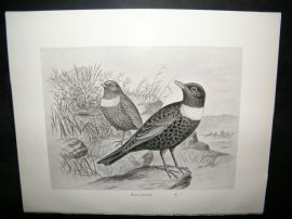 Frohawk 1898 Antique Bird Print. Ring-Ouzel